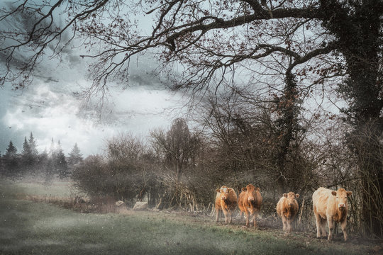 Cows standing in field during snowfall
