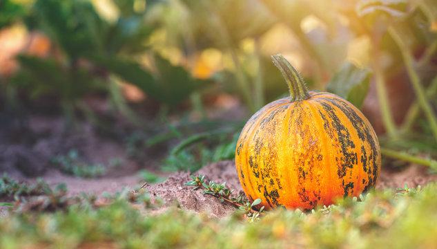 Fall, Pumpkin, Halloween