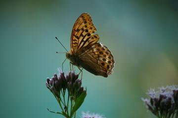 Braun, schwarzer Schmetterling auf einer Blume