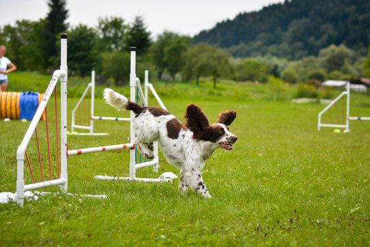 focused Welsh springer spaniel dog jumping fast running agility jump