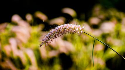 Close up Purple fountain grass (Pennisetum setaceum 'Rubrum) an ornamental grasses