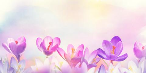 Photo sur Plexiglas Fleur crocus flowers, floral background