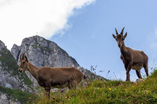 Jeunes bouquetins en montagne