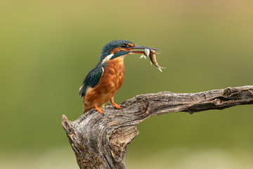 Wall Mural - Female Common Kingfisher with fish in beak perched on a branch with a green background.