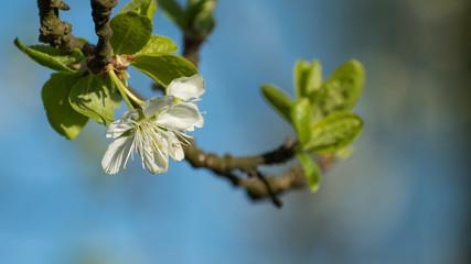 Fototapeta biały kwiat jabłoni obraz