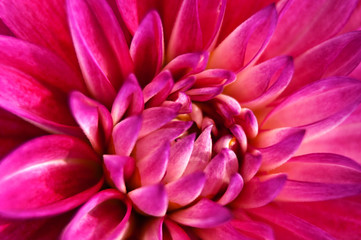 Pink Dahlia flower with close up view