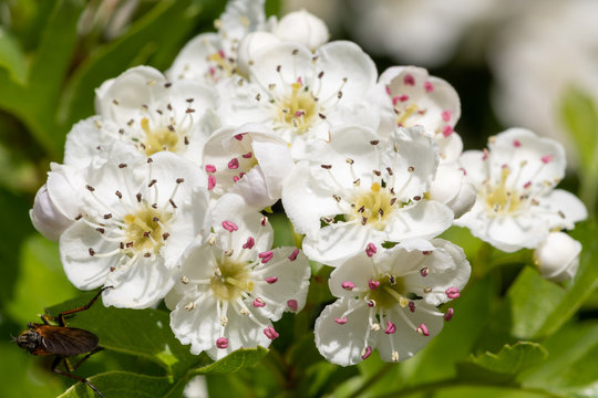 Close up of mayflower (crataegus laevigata) blossom