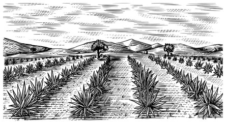 Agave field. Vintage retro landscape. Harvesting for tequila making. Engraved hand drawn sketch. Woodcut style. Vector illustration for menu or poster.