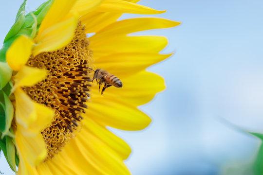 ひまわりとミツバチ 福岡県朝倉郡 Sunflower and Bee Fukuoka-ken Asakura-gun