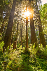 Forest of ferns with sunburst rays of light between tall fir trees