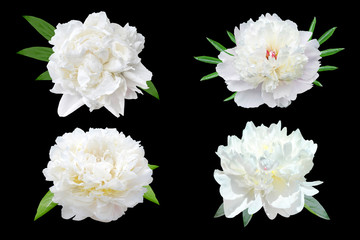 Foto op Canvas Bloemen Set of white peony flowers isolated on black