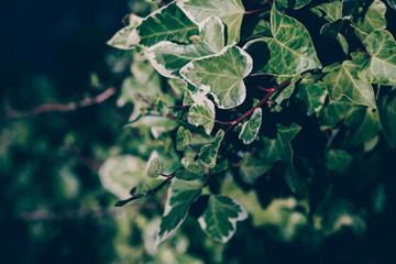 Photo sur Plexiglas Jardin Ivy branch in garden with shadow
