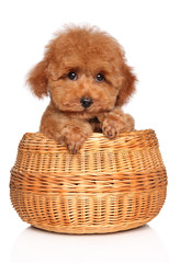 Wall Mural - Toy Poodle puppy in basket on white background