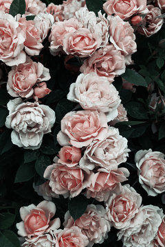 Dramatic photo of pink roses