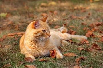 Liegende rote Katze sonnt sich im Herbst