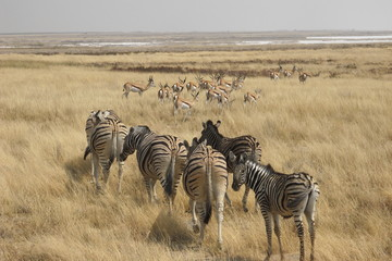 Flock of zebras and springbok slowly moving away in Ethosha National Park in Namibia, Africa