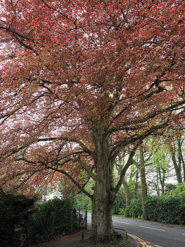 a copper beech tree in Spring foliage