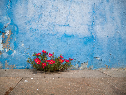 Pink flowers plant growing on crack in pavement background, perseverance concept