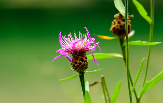 Spotted Knapweed, Centaurea maculosa, blossom on a green background