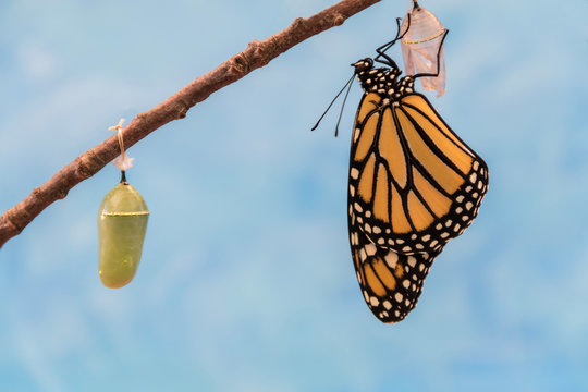 Monarch Butterfly, Danaus plexippuson, emerges from Chrysalis dries wings blue background