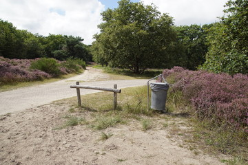 Dune landscape. Cycle path, footpath and waste receptacle in the Dutch dunes in North Holland near the tourist village of Bergen. Summer with flowering heather (Calluna vulgaris). August