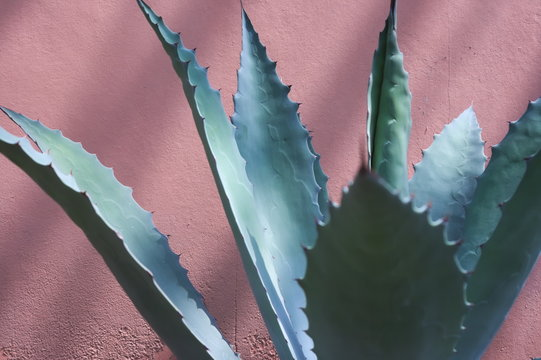 Agave succulent leaves against pink wall