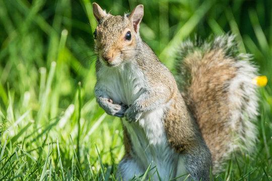 Western Gray Squirrel (Sciurus grises)