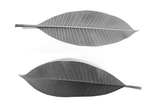 Set of frangipani leaves black and white both front and back. Close up pictures on separate white background.