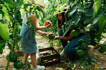 From above side view of unrecognizable girl with ripe tomato interacting with amazed mother sitting with open mouth near wooden box while collecting big tomatoes near lush shrubs in greenhouse