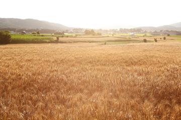小麦畑 茨城 桜川市