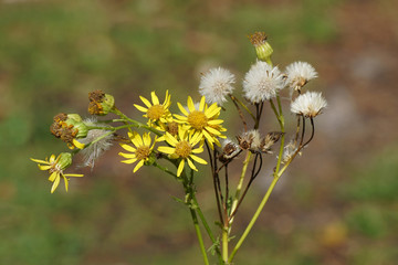 Flowers and seed heads of ragwort (Jacobaea vulgaris, Senecio jacobaea), family Asteraceae in the summer in a Dutch garden. August.