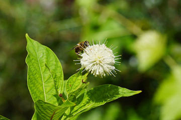 Flower of Buttonbush, Common Buttonbush, Button-willow, Honey-bells (Cephalanthus occidentalis). Coffee family (Rubiaceae). And a hoverfly Eristalis tenax. Summer in a Dutch garden. August