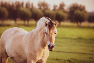 Printed roller blinds Horses portrait of a horse in ranch during summer season male horse beautiful