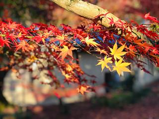 Photo sur Plexiglas Bordeaux Colorful maple leaves in autumn at Eikando (Zenrinji) Temple in Kyoto, Japan.