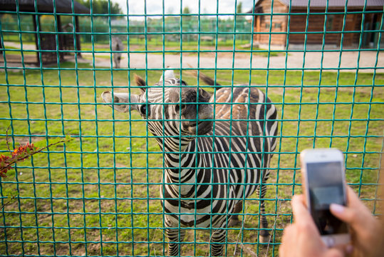 woman makes a picture of zebra behind a fence in a zoo