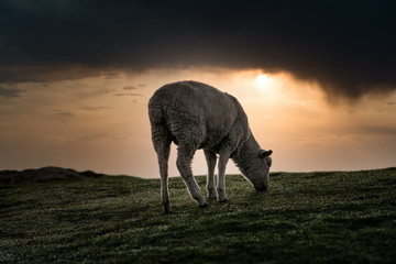 Awesome shoot of a sheep eating grass at misty cloudy sunrise. Copy space