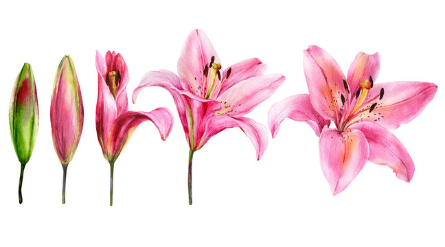 Watercolor lily, elegant pink lilly flower on an isolated white background, watercolor hand drawn flower, stock illustration.