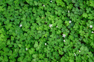 Shamrock (oxalis) field with blooming white flowers, as St. Patrick's day nature background