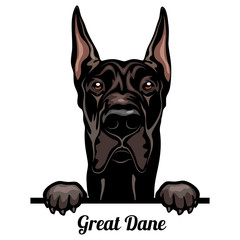 Obraz Great Dane - Color Peeking Dogs - breed face head isolated on white - fototapety do salonu