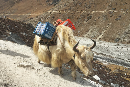 Hardworking Yaks in Nepal, on the way to Everest Base Camp