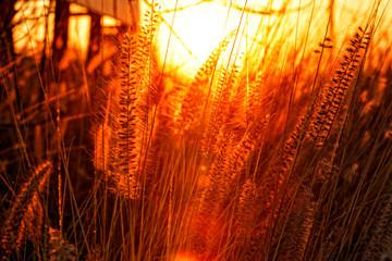 Foto auf Leinwand Braun Golden hour landscape of sun setting on wild grass.