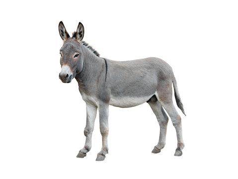 Donkey isolated on white background.