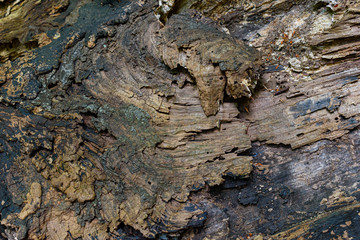 Grungy bark of a decaying tree