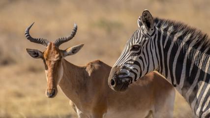zebra herd, Africa