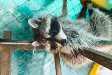 A small raccoon sleeps on a wooden staircase