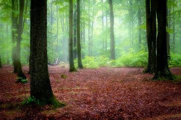 Foto auf Leinwand Olivgrun Beautiful foggy morning in green forest