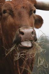 Wall Mural - Funny Texas longhorn cow face eating hay close up.