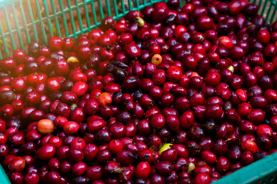red cherry coffee beans fresh and natural in green plastic basket