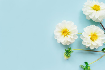 White flowers dahlias on blue background. Flowers composition. Flat lay, top view, copy space. Summer, autumn concept. Wall mural