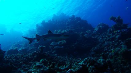 nurse shark great barrier reef coral ecosystem